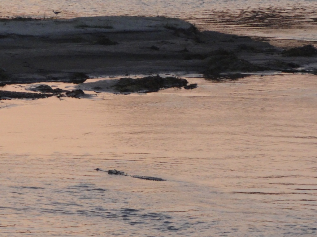 Croc in the water!